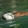 Common eider pair (Somateria mollissima) swimming and courting