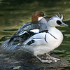 Smew pair (Mergellus albellus) during courtship season