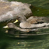 Sharp-winted teal pair (Anas flavirostris oxyptera) mating
