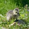 Barnacle Goose Chick (Branta leucopsis)
