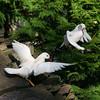 White mandarin pair (Aix galericulata) perching in tree during courtship season