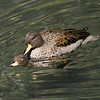 Sharp-winged teal pair (Anas flavirostris oxyptera) mating