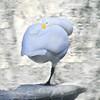 Whooper swan (cygnus cygnus) standing on one foot