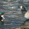 Chiloe wigeon par (Mareca sibilatrix) courting