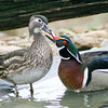 Wood Duck pair (Aix sponsa) courting