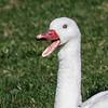 Close-up of Coscoroba swan (Coscoroba cosoroba) talking