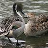 Northern pintail pair (Clangula hyemalis) courting