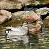 Fakcated duck pair (Anas falcata)