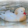 White Mandarin drake (Aix galericulata) swimming