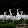 Ross goose (Anser rossii) family portrait