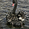 Rear view of Black swan (Cygnus atratus) swimming away