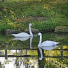 Two Trumpeter swans (Cygnus buccinator) swim in a pond