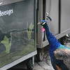 Peachock at Bronx Zoo checks out Beverages at concession stand