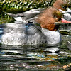 Common Merganser (Mergus merganser ) swimming
