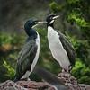 Guanay cormorant (Phalacrocorax bougainvilliorum) pair
