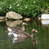Lesser white-fronted goose pair (Anser erythropus) swim in a pond in summer