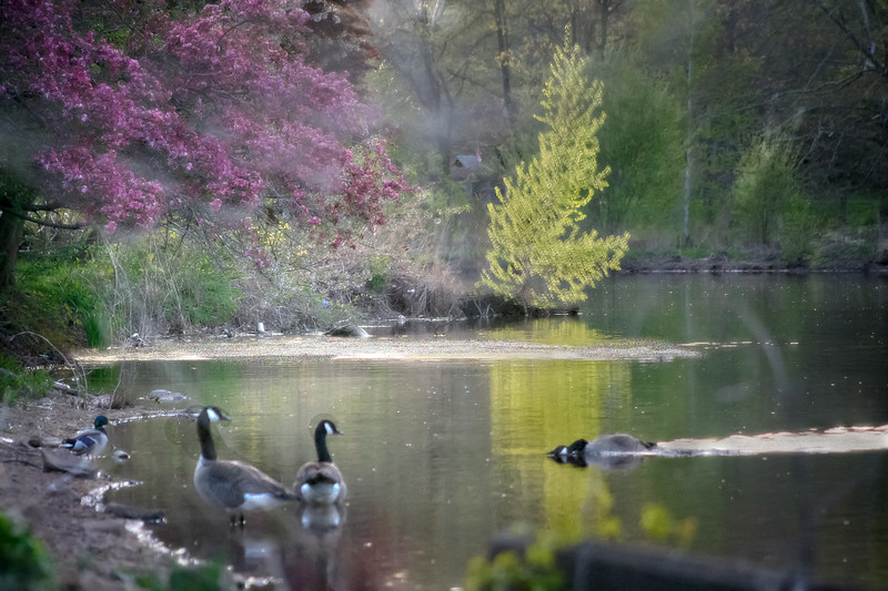 Canadian Geese (Branta canadensis) in a pond in springtime