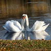 Two mute swans (cygnus Olor) pose for the camera