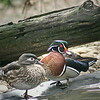 Wood duck pair (aix sponsa) on land
