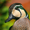 Baikal Teal (Anas formosa) close up