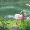 Trumpeter Swan  (Cygnus buccinator) swimming in pond in springtime