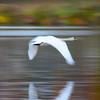 Mute swan (Cygnus olor) flies across pond