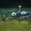 Grey crowned crane (Balearica regulorum) performing dance for his mate at Livingston Ripley Conservancy