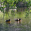 Australian Shelduck pair (Tadorna tadornoides) swimming in pond
