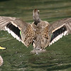 Sharp-winged Teal (Anas flavirostris oxyptera) water display during courtship season