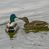 Mallard duck pair (Anas platyrhynchos) courting