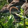 Merganser chick (Mergus merganser)
