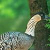 Nene goose (Branta sandvicensis)