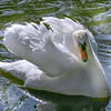 Mute Swan (Cygnus Olor) in threat posture