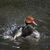 Red crested pochard drake (Netta rufina) in spirited water bath