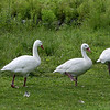 Five Coscoroba swans (coscoroba coscoroba) out for a stroll