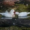 White mandarin pair (Aix galericulata) courting