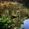 Black Swan (Cygnus atratus) in spring