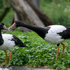 Magpie Geese (Anseranas semipalmata) courting