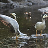 Bar-headed goose (Anser indicus ) performs for his companion