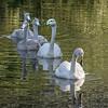 Whooper swan family (Cygnus cygnus)swimming in a pond