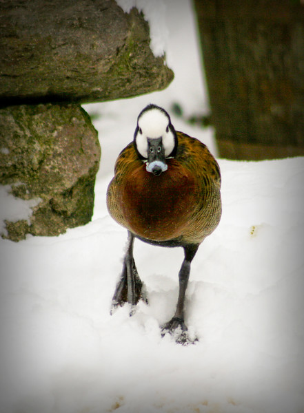 White-faced whistling duck (Dendrocygna viduata) walking in the snow