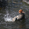 Red-crested pochard drake (Netta rufina) displaying during courtship season