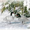 Two black-necked swans (Cygnus melancoryphus) in the snow
