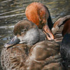 Red-crested pochard couple (Netta rufina) taking a nap together