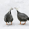 Emperer Goose pair (Chen canagica) in snow