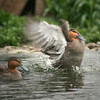 Phillipine Duck (Anas luzonica) performs for his mate during courtship season