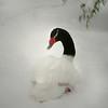 Black-necked swan (Cygnus melancoryphus) nestline in the snow