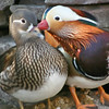 Mandarin pair (Aix galericulata) during courtship season