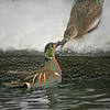 Baikal Teal pair (Baikal teal pair in water and on snow bank touching bills in courtship season courting in the snow