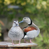 Ringed teal pair (Callonetta leucophrys) on land in courtship season